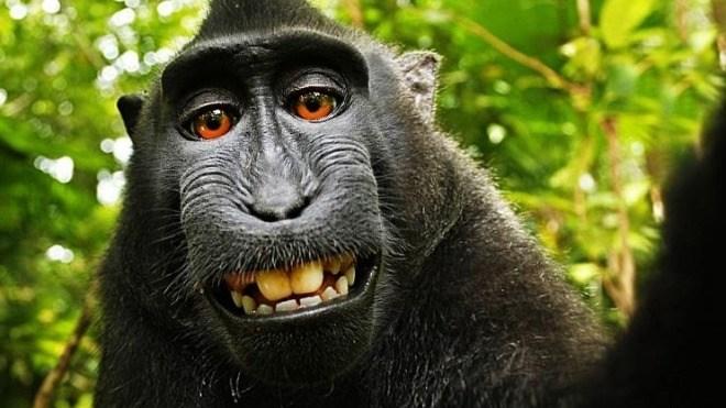 Affen-Selfie: Tierschützer wollen, dass der Affe Urheberrecht erhält